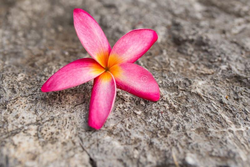Champaka& anaranjado x27; flor imagen de archivo libre de regalías