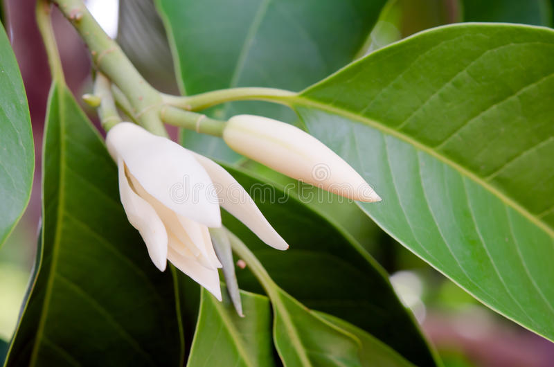 Champaka beautiful and aroma flower on the tree. Champaka flower (Also called as Michelia alba champak, Michelia champaca, Magnoliceae hybrid champaka, champak stock photo