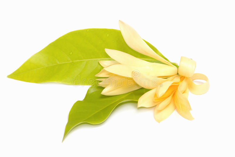 Champaka flower are blooming. (Michelia alba DC royalty free stock images