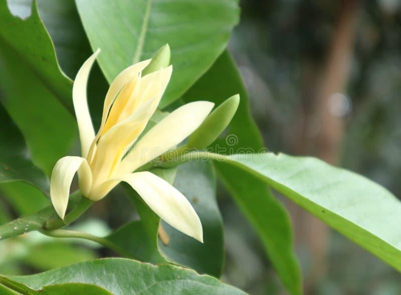 Champaka Flowers. Champaka Flowers and Green Leaves royalty free stock photo