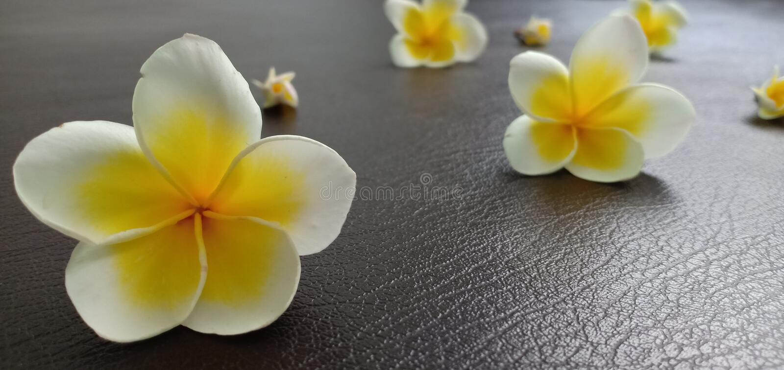 Champaka white flowers. On the leather floor royalty free stock image