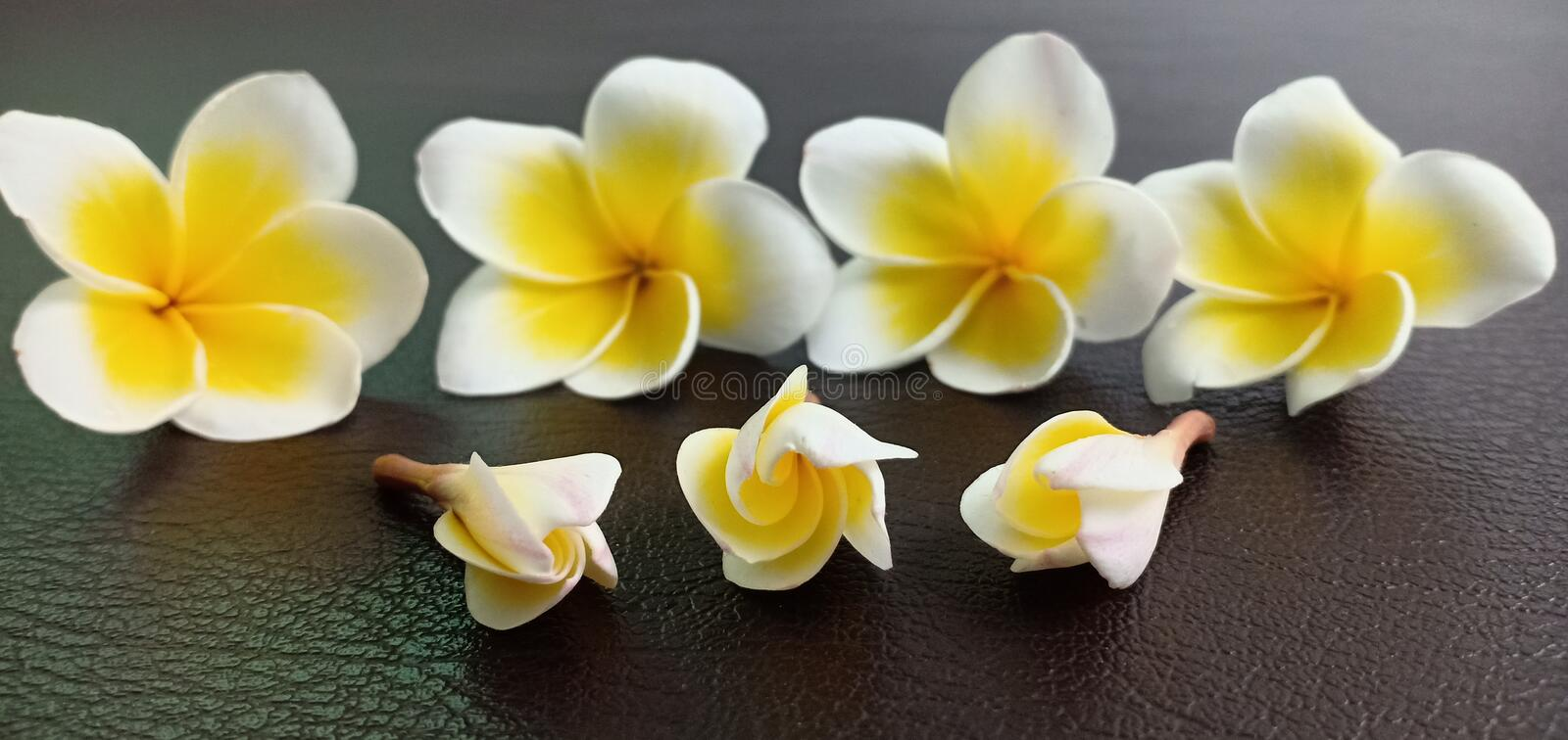 Champaka white flowers. On the leather floor stock images