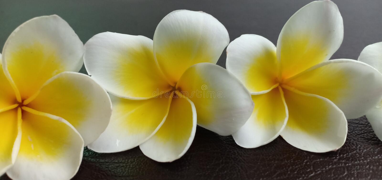 Champaka white flowers. On the leather floor stock photography