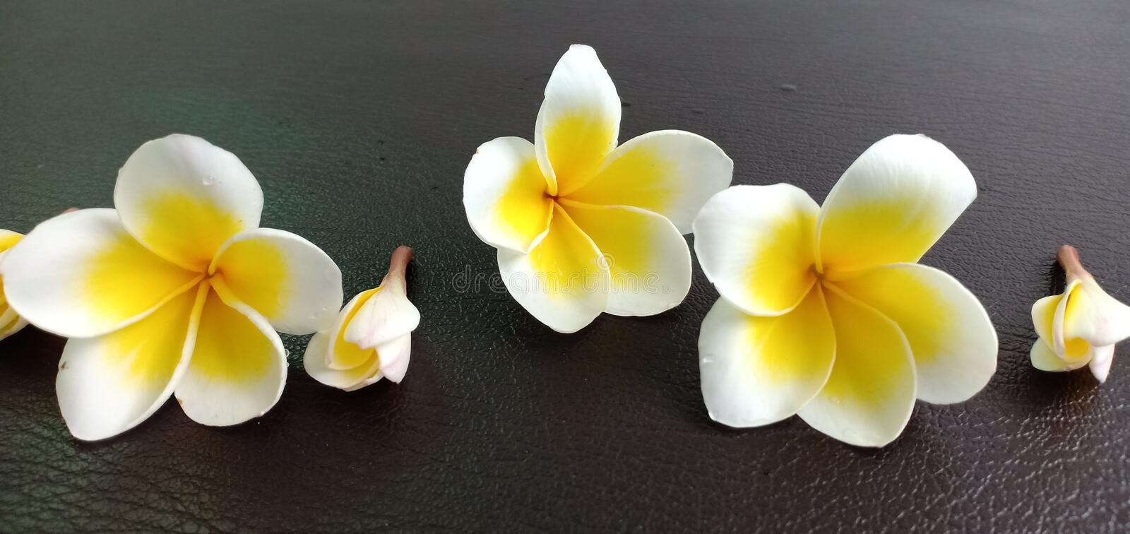 Champaka white flowers. On the leather floor stock photos