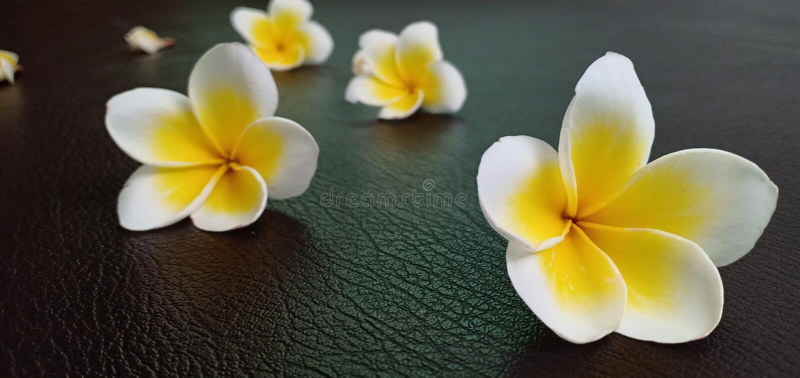 Champaka white flowers. On the leather floor stock image