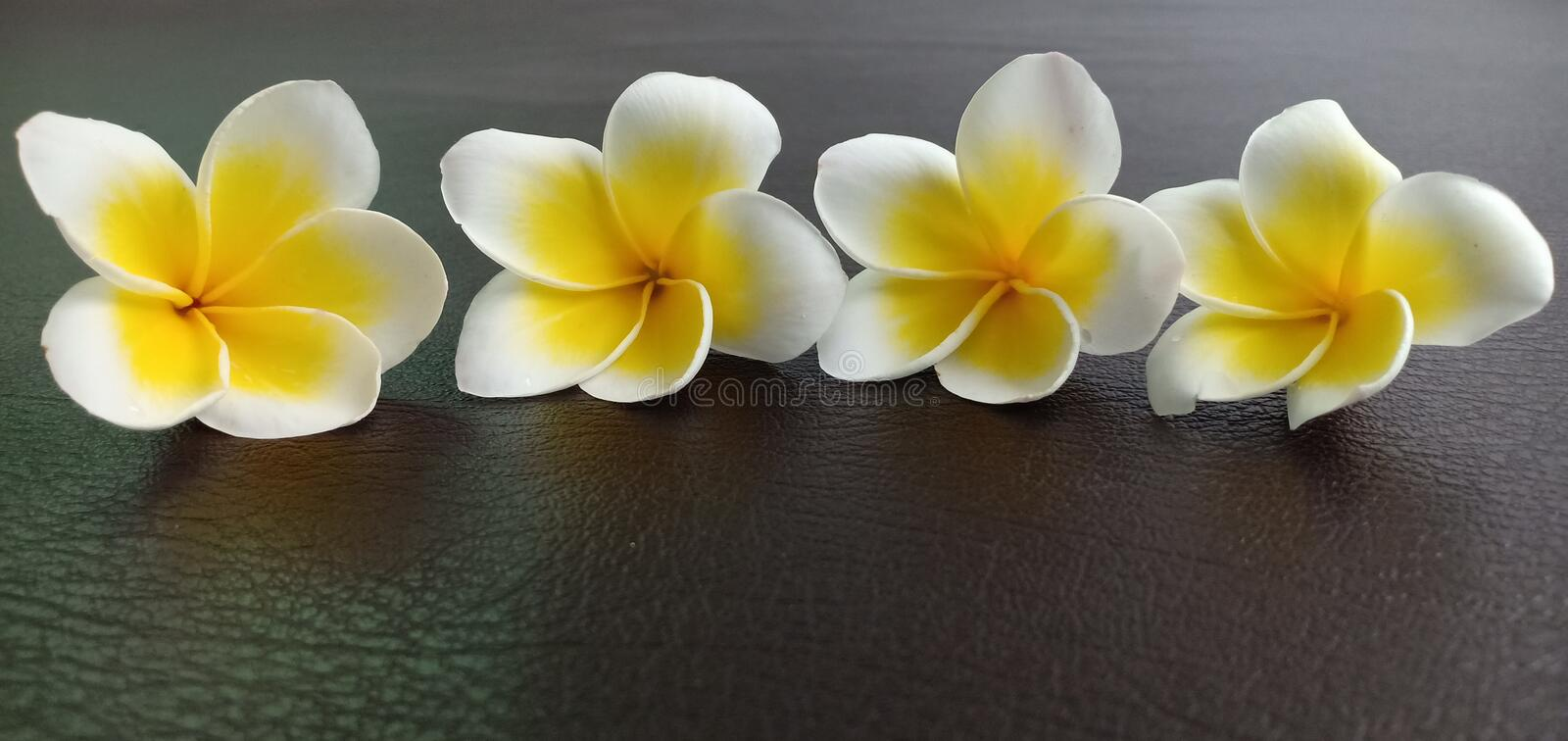 Champaka white flowers. On the leather floor royalty free stock photos