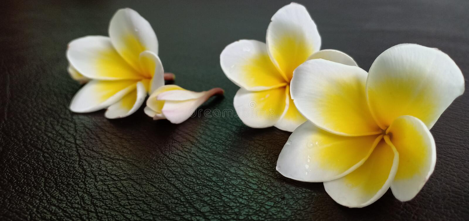Champaka white flowers. On the leather floor stock photo