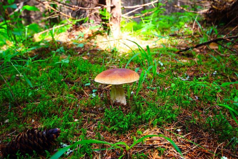 Champignon blanc sur la clairière de forêt Champignon précieux comestible Le Su images libres de droits