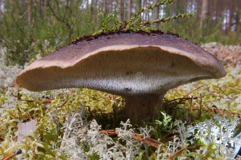Champignon coloré d'imbricatus de Sarcodon, comestible, forêt d'automne photos stock