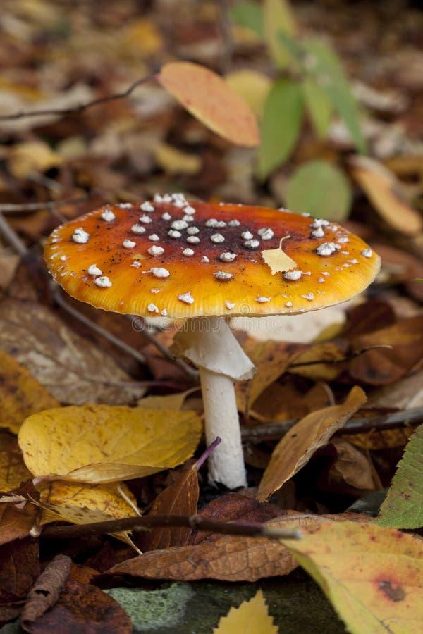 Champignon d'amanite de mouche dans les bois photo libre de droits