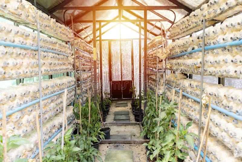 Champignon d'ange s'élevant des sacs de culture de champignon dans une crèche photographie stock libre de droits