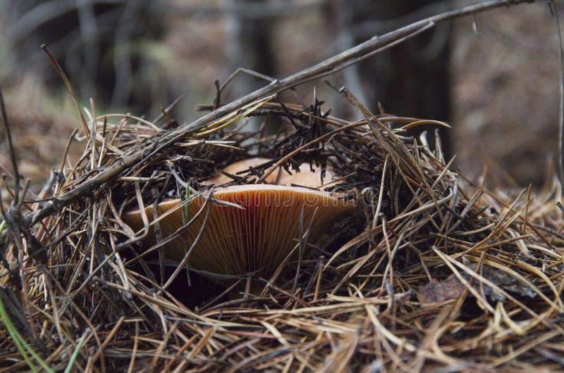 Champignon dans la forêt photos stock