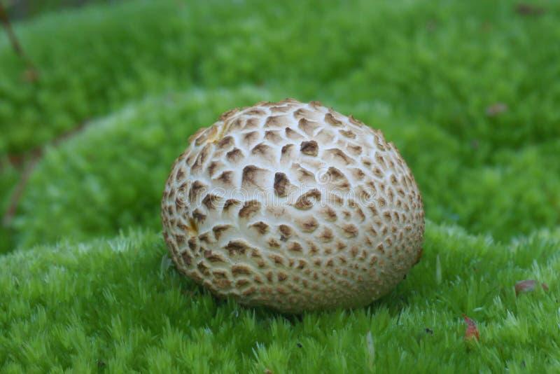 Champignon de champignons de boule sur la mousse photo libre de droits