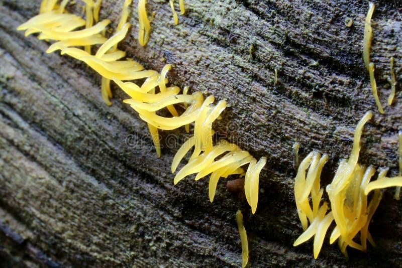 Champignon de cornée de Calocera image stock