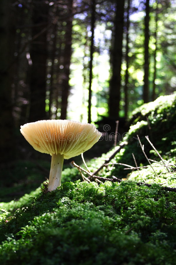 Champignon de couche dans la forêt photo stock