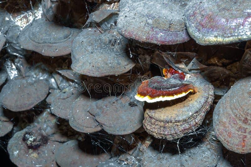 Champignon de couche de Lingzhi photographie stock libre de droits