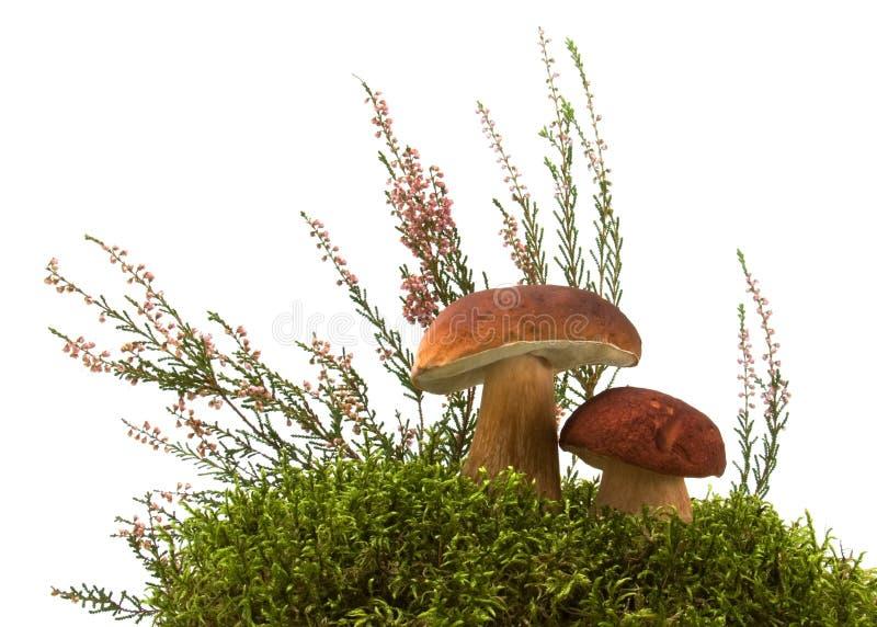 champignon de couche de mousse de bruyère image libre de droits