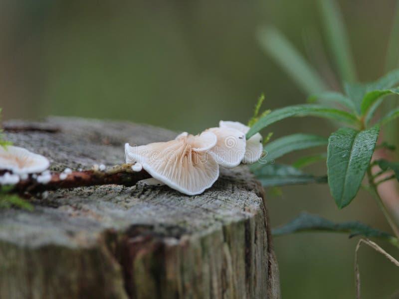 Champignon de couche fongueux photo libre de droits