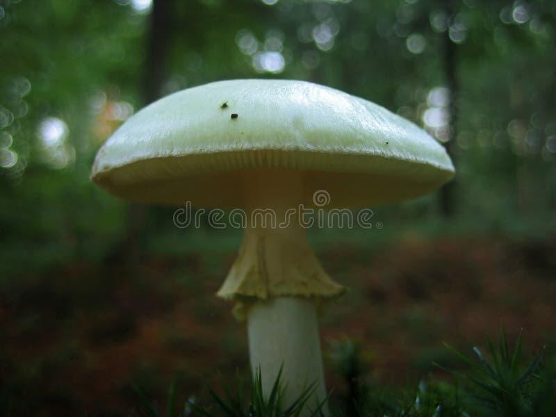 Champignon de couche sauvage photo stock