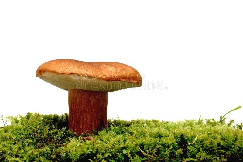 Champignon de couche sauvage au-dessus de blanc photos stock