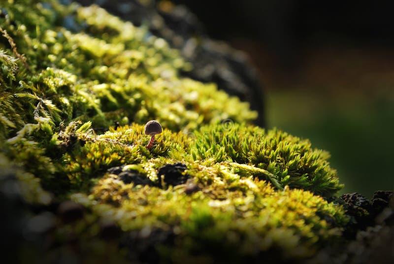 Champignon de couche sur la mousse photo stock