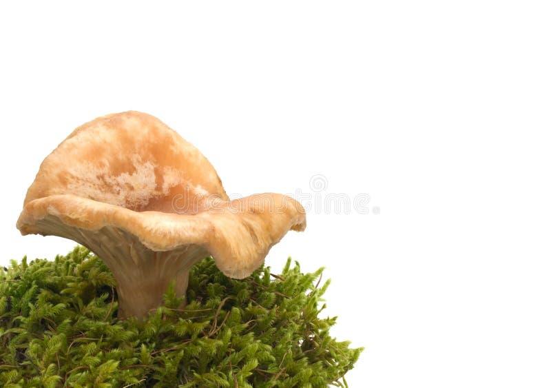 Champignon de couche sur un fond blanc image stock