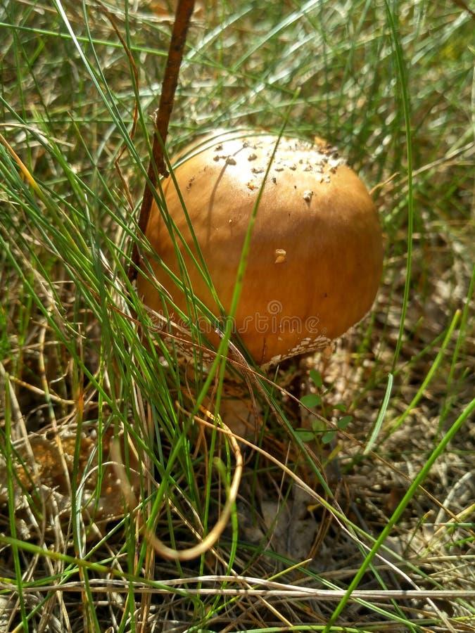 champignon de couleur maïs photographie stock libre de droits