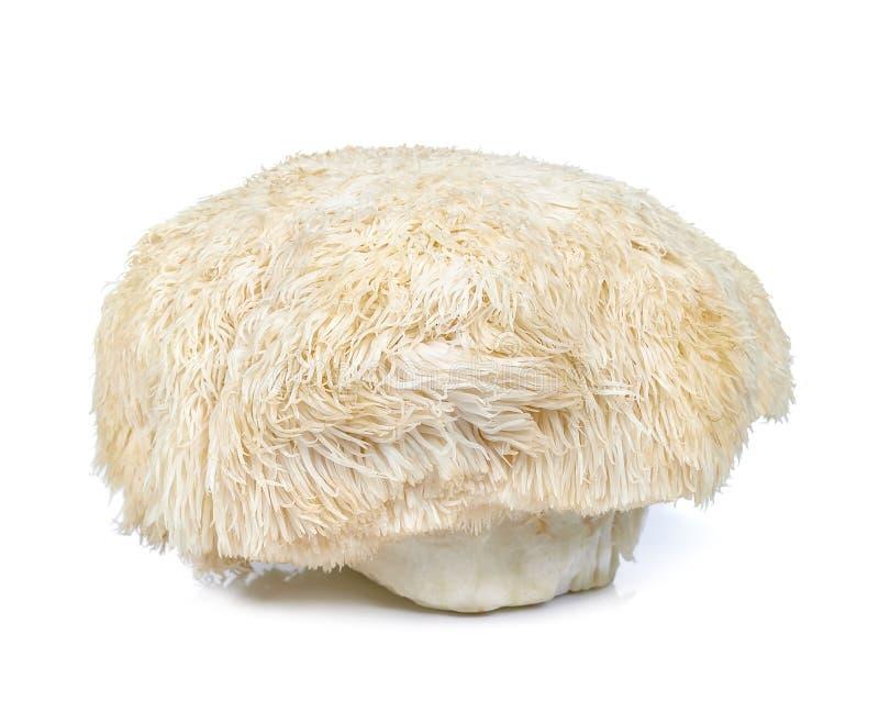 Champignon de crinière de lion d'isolement sur le fond blanc photographie stock