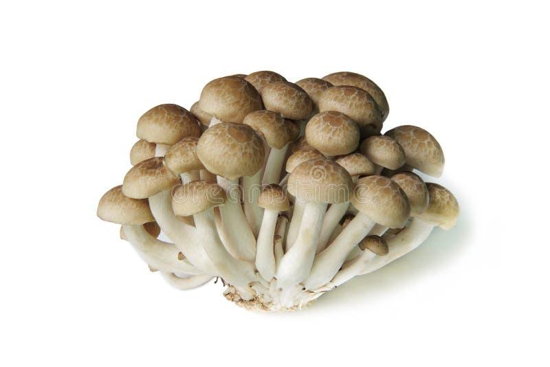 Champignon de hêtre de Brown d'isolement sur le blanc photos stock