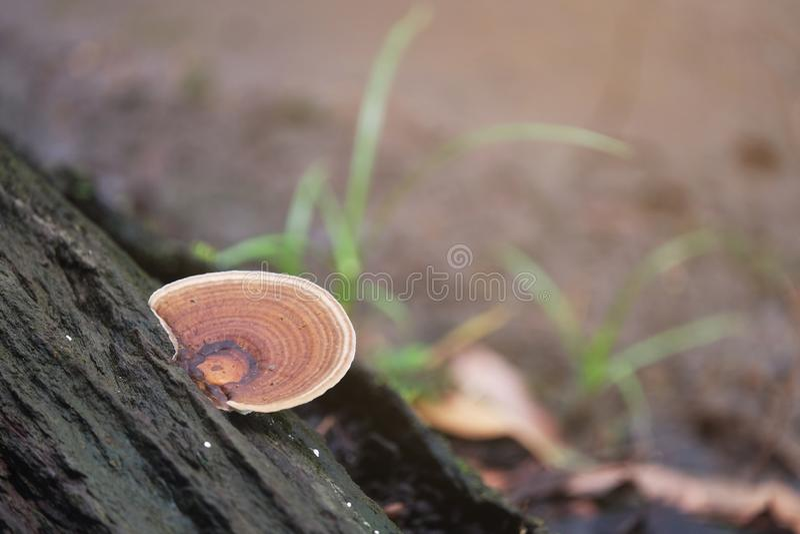 Champignon de Lingzhi s'élevant sur un bois de construction en pleuvant la saison photo libre de droits
