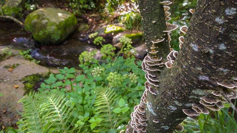 Champignon de parenthèse de l'artiste s'élevant sur le tronc d'un arbre photographie stock libre de droits
