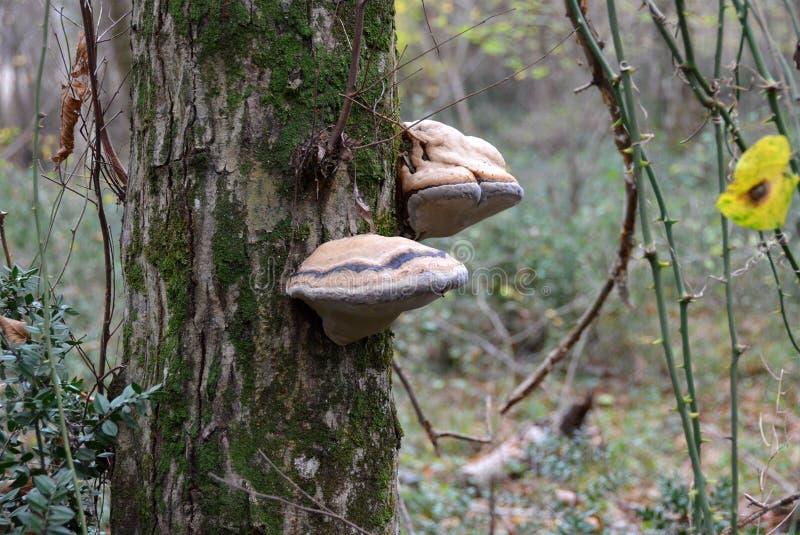Champignon de parenthèse de matière inflammable de sabot sur le tronc d'arbre moussu photos libres de droits