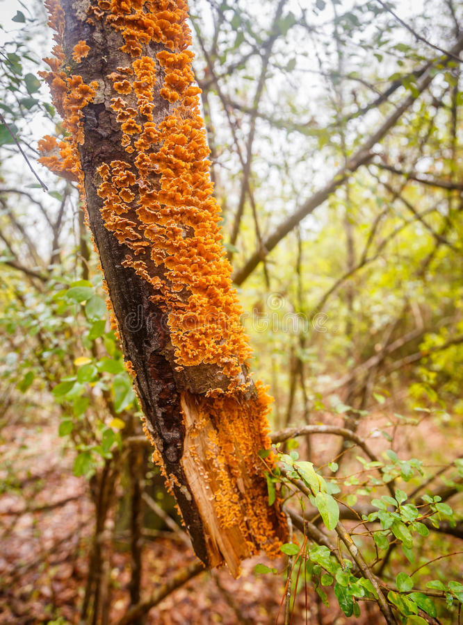 Champignon de parenthèse orange photo stock