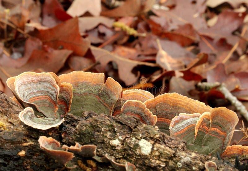 Champignon de parenthèse rayé vert et orange de queue de la Turquie sur le rondin photos stock