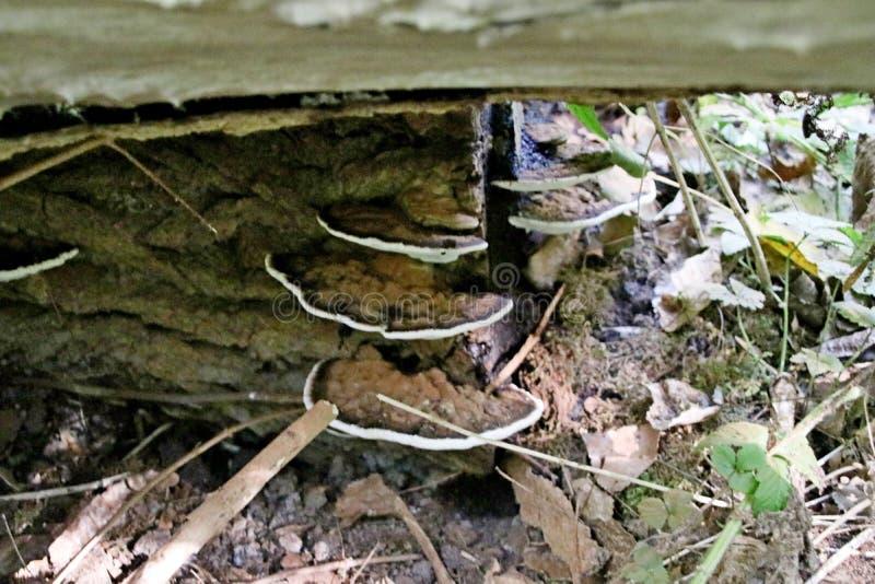 Champignon de Polypore dans les schollenbos dans Capelle aan den IJssel aux Pays-Bas photographie stock