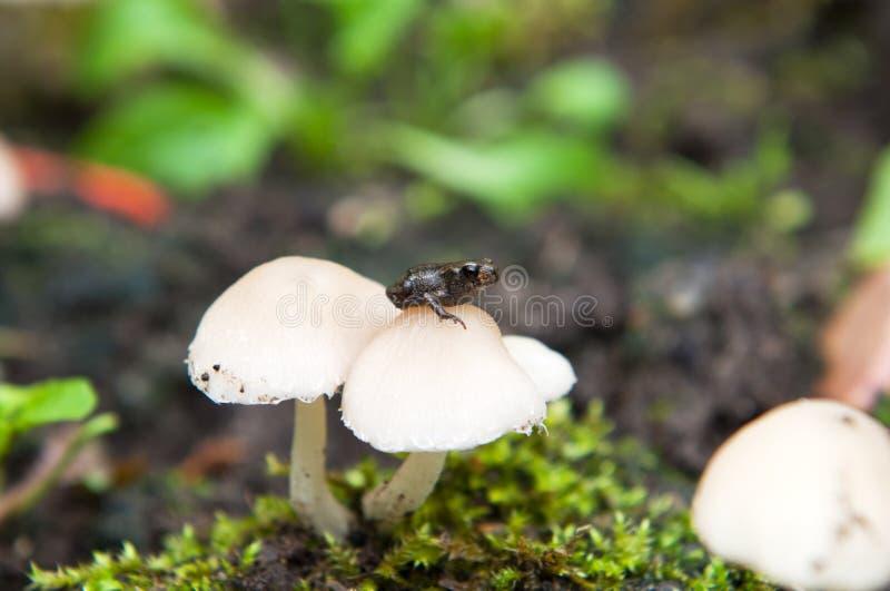 Champignon de porcelaine, ou touffe de hêtre photos stock