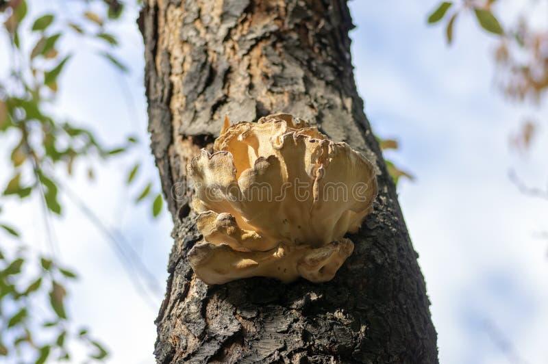 Champignon de sulphureus de Laetiporus sur le tronc en bois de prunus sur l'écorce brune, groupe de beaux champignons savoureux j photographie stock libre de droits