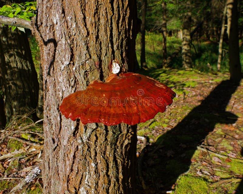 Champignon Gandoderma Tsugae de Reishi s'élevant sur un arbre de cigûe photographie stock