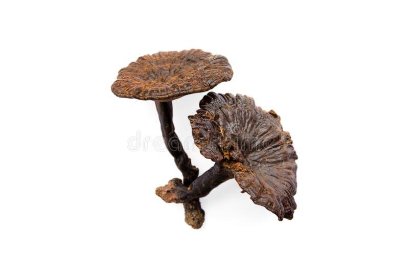 Champignon Ganoderma Lucidum de Lingzhi, photographie stock