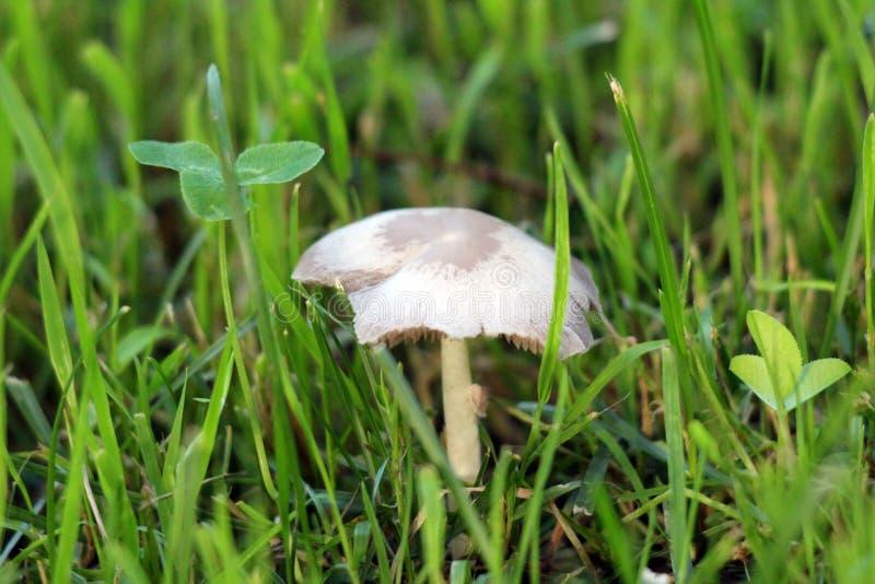 Champignon gris-clair s'élevant dans l'arrière-cour de maison de famille après la forte pluie complètement entourée avec l'herbe  photo stock
