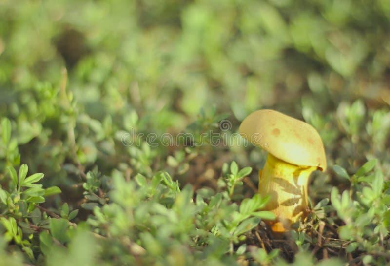 Champignon jaune de chapeau sur la petite herbe blanche, champignon de boletus sur le plancher en bois, champignon d'automne sur  photos stock
