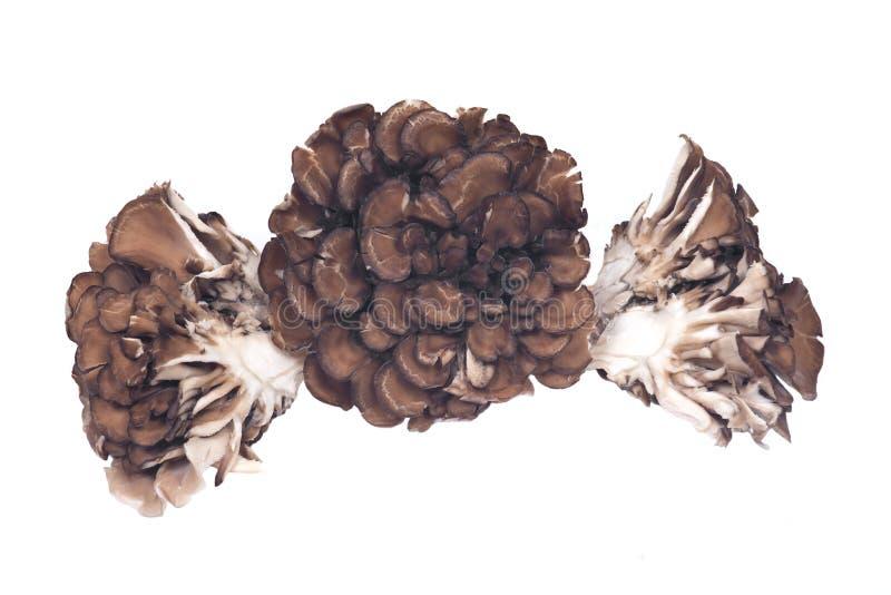 Champignon médicinal de amélioration immunisé de maitake organique photographie stock