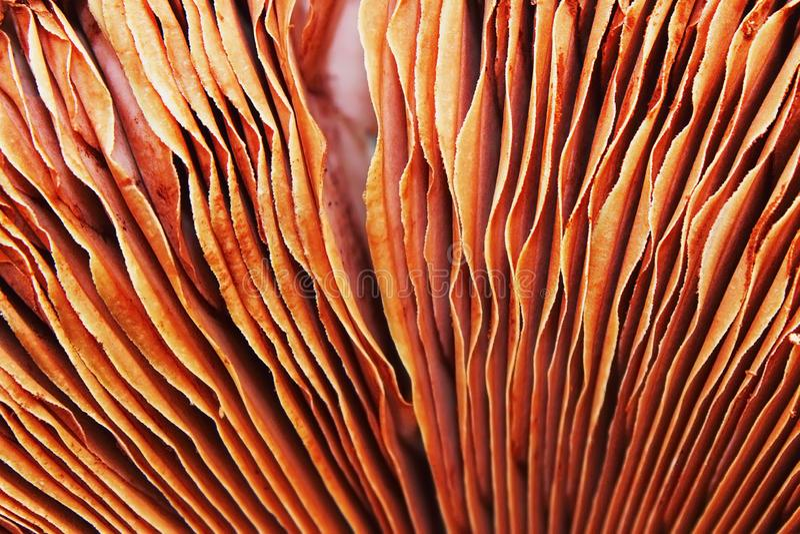 Champignon mushroom gills royalty free stock photo