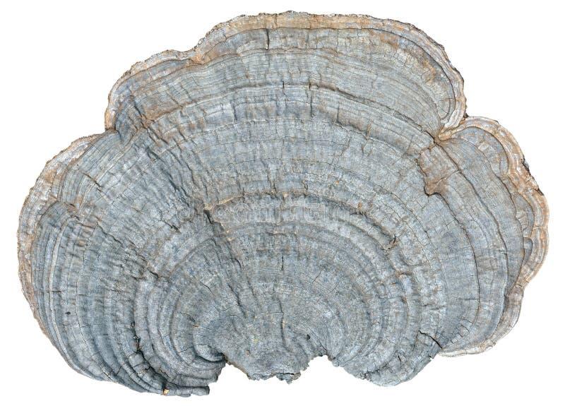 Champignon (parenthèse-champignon) 4 photographie stock libre de droits