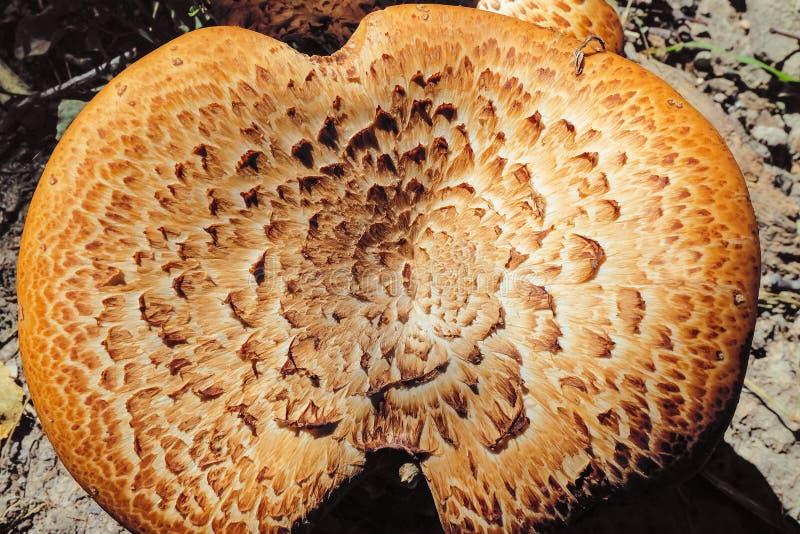 Champignon Sarcodon image libre de droits