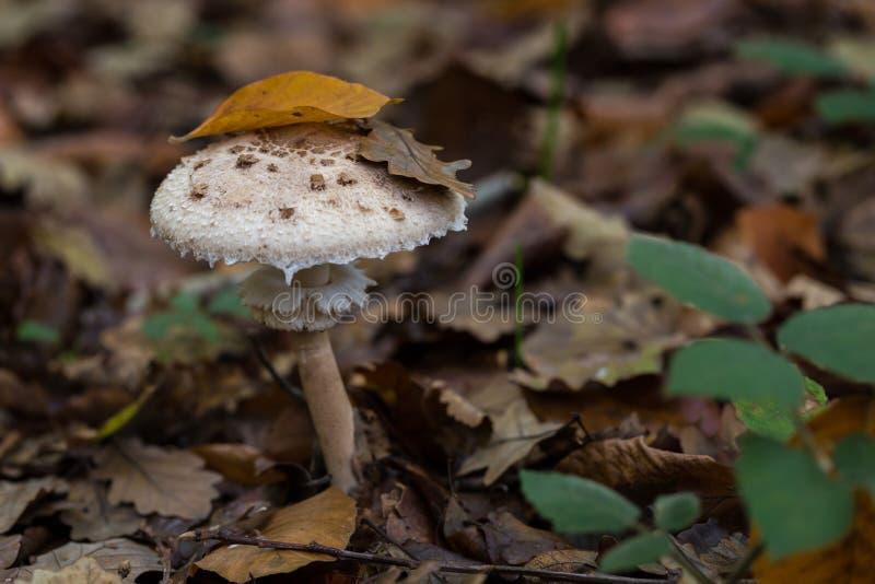 Champignon se cachant sous les feuilles dans la forêt d'automne, plan rapproché photographie stock libre de droits