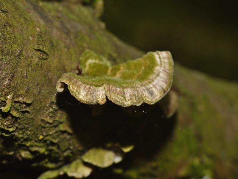 Champignon sur l'arbre photos stock