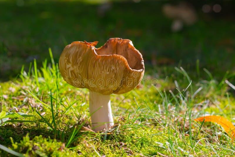 Download Champignon sur un pré image stock. Image du brun, outside - 76081387