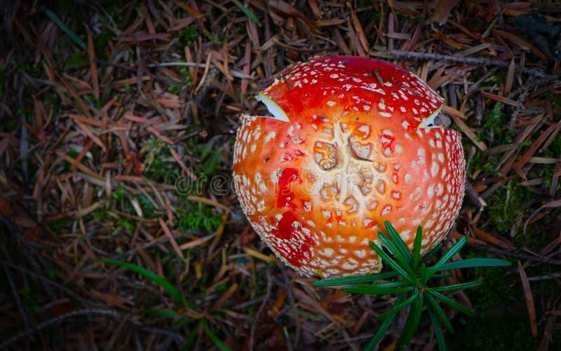 Champignon toxique frais coloré d'amanite de mouche-agaric le MOIS vert image stock