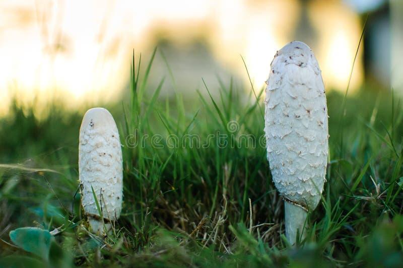 Champignons blancs de coprinus au sol Plan rapproché ovale blanc de trois champignons de coprinus photographie stock libre de droits
